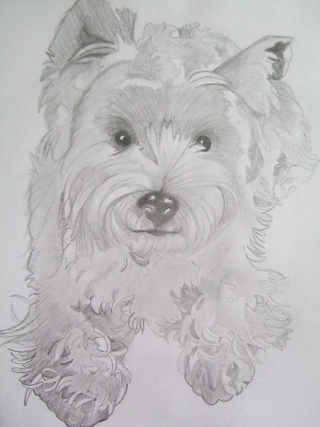 Pencil drawing of a westie