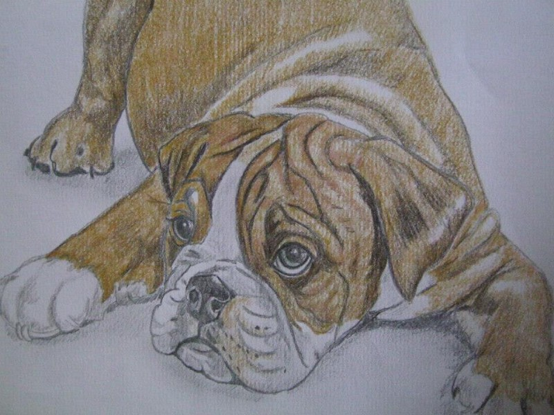 Colour pencil drawing boxer puppy